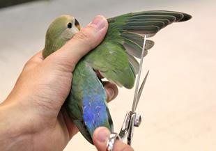 インコ・文鳥の羽切り