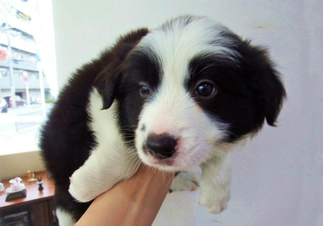 Resultado de imagen para 犬 Border Collie 犬用ベッド